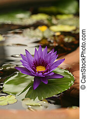 Image of Lotus in Reflective Water