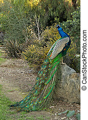 Peacock Male Bird Posing on a Rock