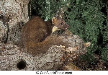 Pine marten, Martes martes, single mammal on log