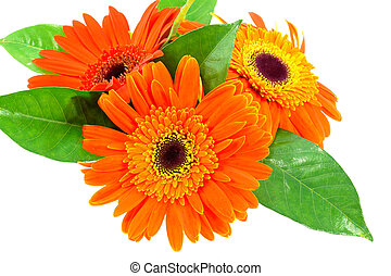orange gerbera flower on white background