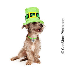 St Patricks Day Lucky Dog - A cute scruffy terrier mixed...