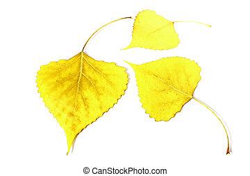 Yellow leaf poplar, leaf fall, leaves,