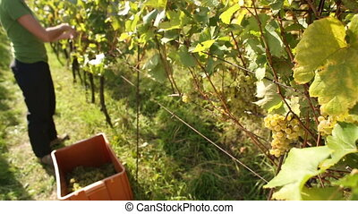 Young woman picking grapes