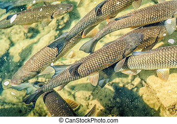 Some Trouts in a Pond - Trouts swimming around in a fish...