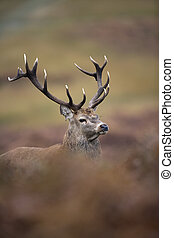 Red deer, Cervus elaphus, single male, UK