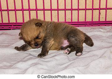 Little fluffy Pomeranian puppy , be sleepy