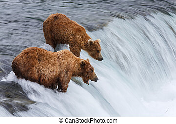 Bears of Alaska - Grizly Bears at Katmai National Park,...