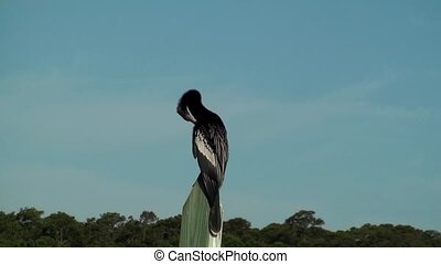 Anhinga preening - Anhinga Darter on a post preening