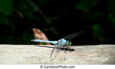 Blue Dragonfly - Blue dragonfly on a fence post