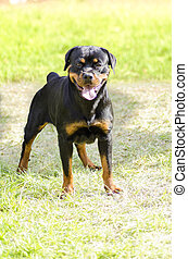 Rottweiler dog - A healthy, robust and proudly looking...