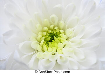 Close up of white aster flower - Macro of white aster flower...