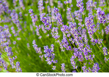 Lavender - Beautiful lavender flowers with shallow DOF