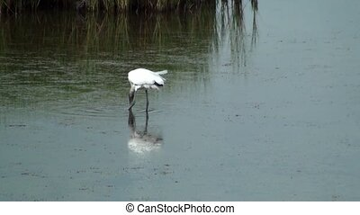 Wood Stork Looking For Food - Wood stork looking for food...