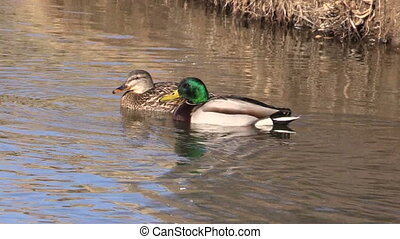 Drake and Hen Mallards - a mallard drake and hen swimming on...