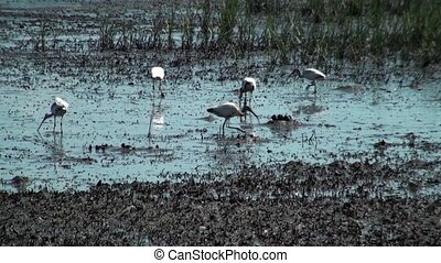 Wood Storks Feeding - Wood storks feeding in the marsh