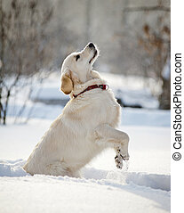 retriever puppy in winter