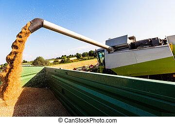 campo de maíz, trigo, cosecha