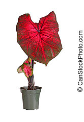 Small potted caladium plant ready for transplanting