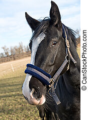 Horse - a portrait of horse with head collar