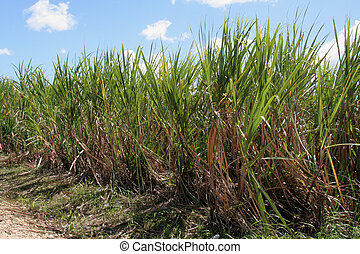 Sugar Cane Crop - Sugar cane fields in the Dominican...