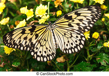 Idea leuconoe butterfly on the yellow .chrysanthemum