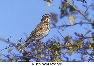 Redwing, Turdus iliacus, single bird on branch, UK