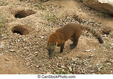 Ring-tailed coati, Nasua nasua, single mammal
