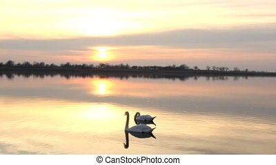 swan - beautiful lake sunrise