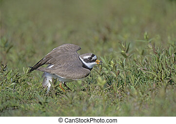Ringed plover, Charadrius hiaticula, single bird broken wing...
