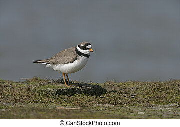 Ringed plover, Charadrius hiaticula, single bird by water,...