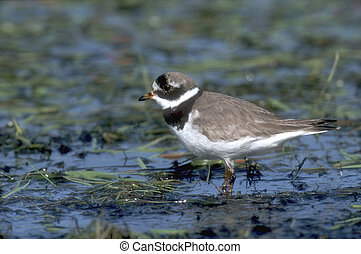Ringed plover, Charadrius hiaticula, single bird in water,...