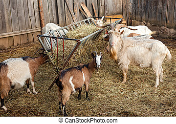 Goats in a barn covered with hay