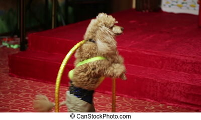 Red poodle - Beautifully dressed red poodle passes through...