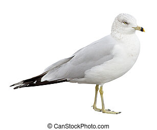 Gull - Ring-billed Gull (Larus delawarensis) on a white...