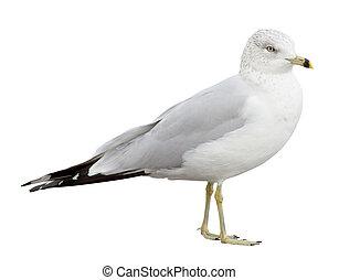 Gull - Ring-billed Gull (Larus delawarensis) on a white...