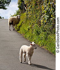 Lambs playing on road