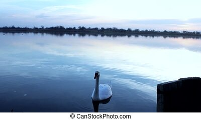 swan - beautiful lake sunrise in Vojvodina