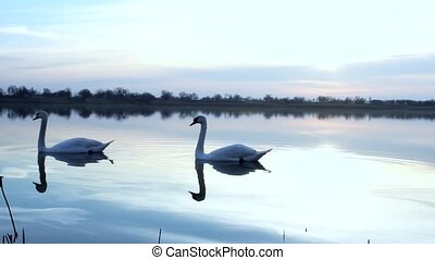 swans - beautiful lake sunrise in Vojvodina