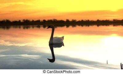 swan - beautiful lake sunrise in serbia