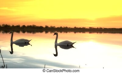 swans - beautiful lake sunrise in serbia