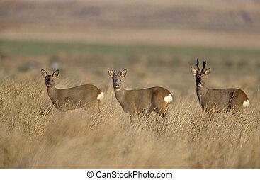 Roe deer, Capreolus capreolus, three deer in grass