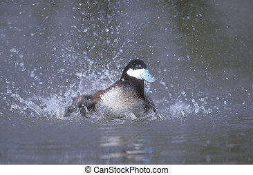 Ruddy duck, Oxyura jamaicensis, single male on water