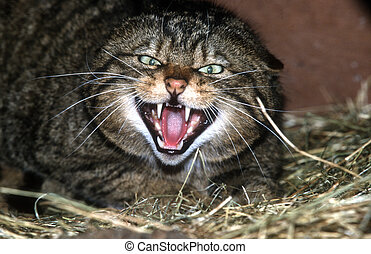 Scottish wildcat, Felis silvestris, single mammal...
