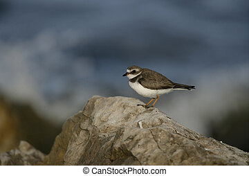 Semipalmated plover, Charadrius semipalmatus, single bird on...