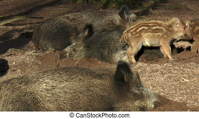 wild piglets playing and fighting in forest