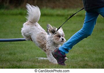 kleiner Hund beim Sprung ueber Hindernis - Shihtsu landet...
