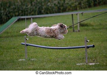 kleiner Hund beim Sprung ueber Huerde - Havaneser springt...