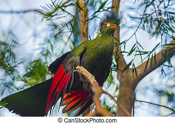 Beautiful Turaco Bird - Guinea Turaco also known as Green...