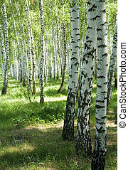 Birches on a background of a wood