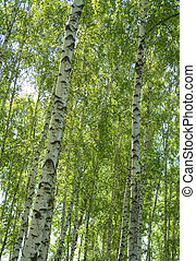 Birches on a background of a wood...